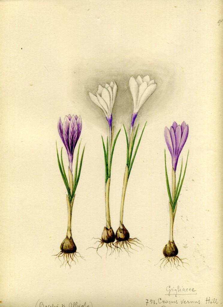 Hortus Pictus_Crocus vernus