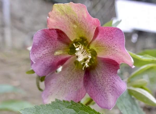 Helleborus orientalis Lam., rosa di Quaresima