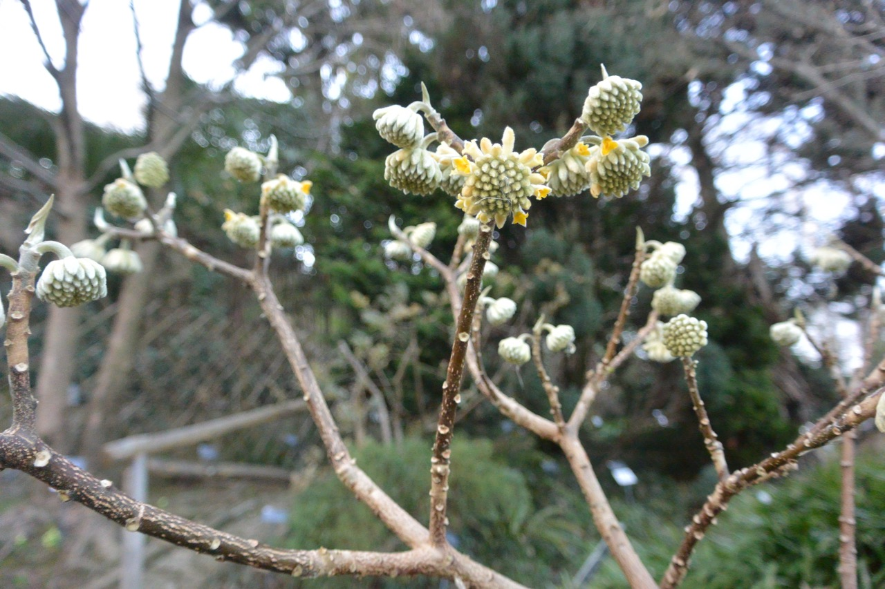 Edgeworthia tomentosa (Thunb.) Fam. Thymelaeaceae